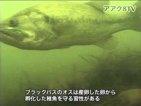 アアク8TV水中映像×Goovie 岐阜県の魚類09 外来種2