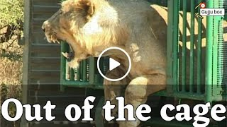 Lion out of the cage | Lion released in the jungle sasan | Gir forest | Jungee lion in small cage