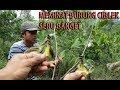 WAJIB NONTON !!! Memikat burung ciblek di alam liar dapat banyak menggunakan mp3 thumbnail