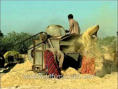 Threshing of Wheat chaff through threshing machine