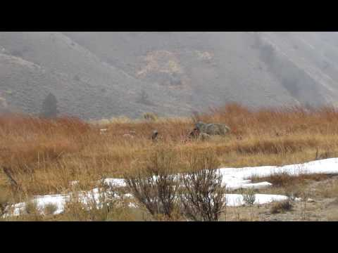 Yellowstone Wolf Feeding on Elk