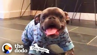 Pit Bull With Dwarfism Finds The Perfect Dad   | The Dodo Pittie Nation