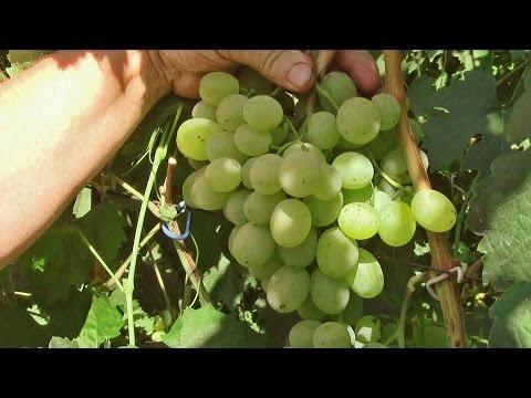 виноград светлана описание сорта фото отзывы