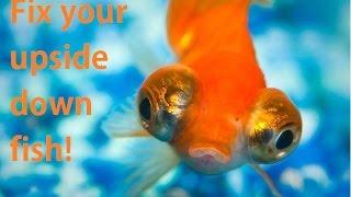 Fix an upside down goldfish! (Swim bladder)
