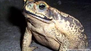 Amphibian  -  Animal Depravation