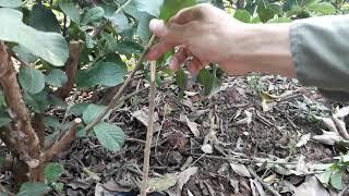 Ghép cây theo cách mới cực kỳ hiệu quả