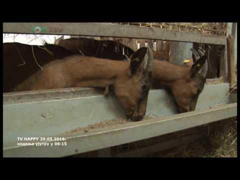 Koncentrat za krave se odlicno pokazao u ishrani mlecnih koza