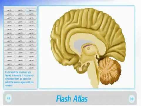3d brain anatomy software
