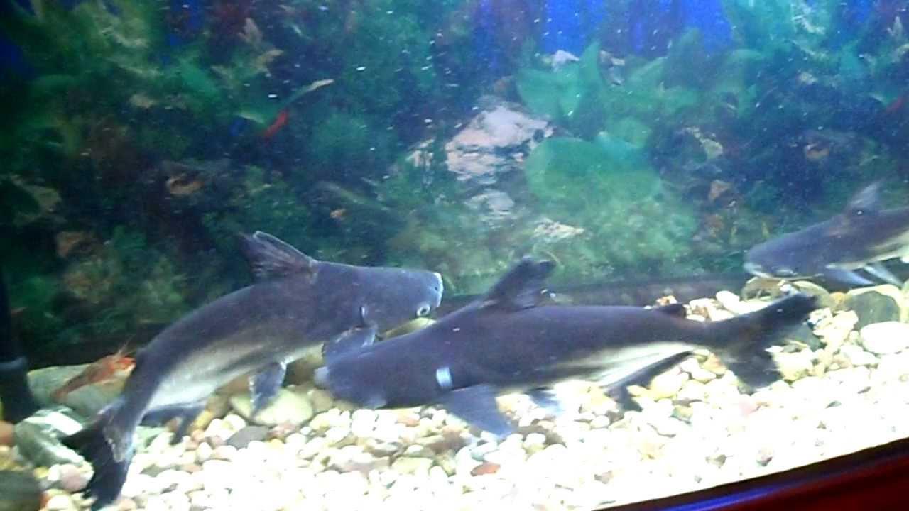 3 Paroon Sharks ( fres...