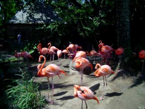 Caribbean Flamingos at Audubon Zoo Video