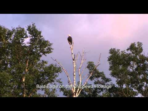 Bald Eagle on the Chippewa Flowage