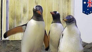 澳洲同志企鵝孵寶寶 多元成家全球吸睛