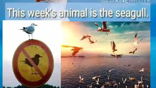 Animals Of The Week!{14}Seagull!