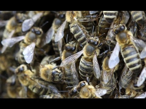 Honeybee shortage for crop pollination HD