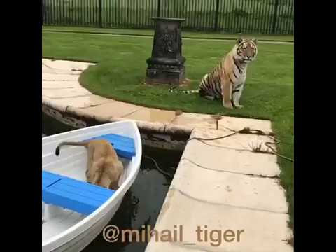 ТИГР И ЛЬВЕНОК TIGER AND LION