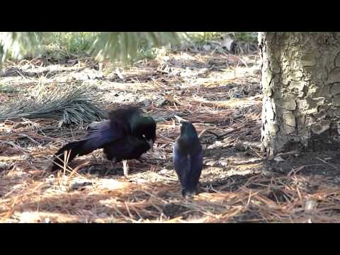 Grackle Mating Dance