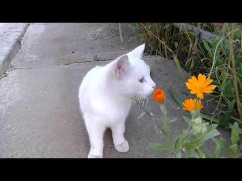 Белая кошка с разными глазами .
