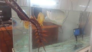 Cá Rồng Ngân Long Ăn Rết Trong 10 Giây Thật Không Thể Tin Được| Cá Rồng Ăn Rết Arowana Eat Centipede
