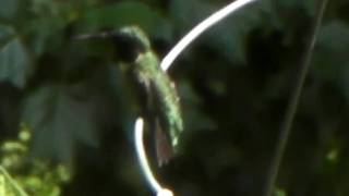 Humming Bird Cleaning Beak