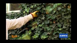 Tailler le lierre - Vidéo jardinage | GAMMA Belgique