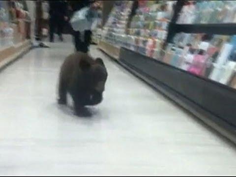 Il cucciolo d'orso si aggira tra gli scaffali della farmacia
