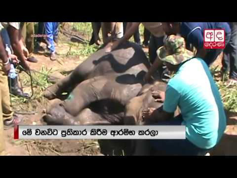 4-year-old elephant calf injured after Habarana accident
