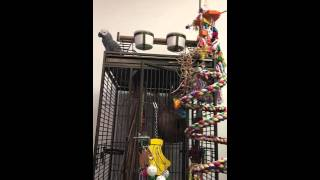 """Congo African Grey Swearing - """"You're a twat, that's the answer"""""""