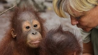 Voice of the orangutans - Lone Drøscher Nielsen