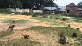 Monkeys of Madaripur. দেশি বানর। চরমুগুরিয়া, মাদারীপুর, বাংলাদেশ.