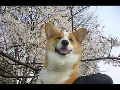 Goro@Welsh corgi pembroke and flowers