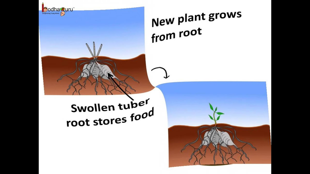 Vegetative Asexual Reproduction is Asexual Reproduction in