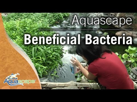 Optimizing Your Pond with Aquascape Beneficial Bacteria