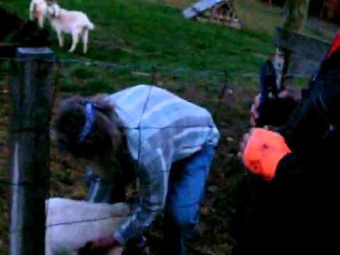 Kid Goat Castration