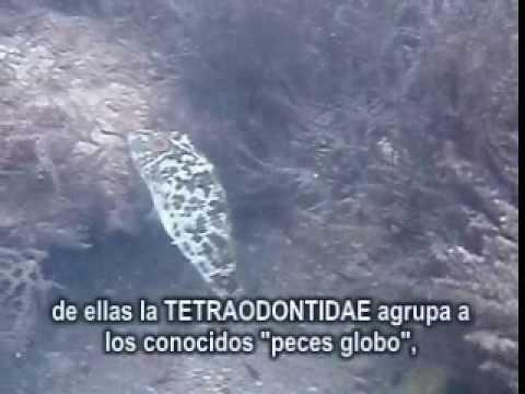 freshwater puffer fish. 英名:Fresh water puffer