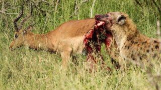 Half an Impala Tries Escaping Hyena