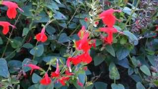Salvia Coccinea - Scarlet Sage - Tropical Sage HD 02