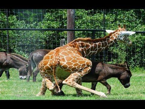 Endangered Species: Giraffe -  Watch Devil Giraffe HD