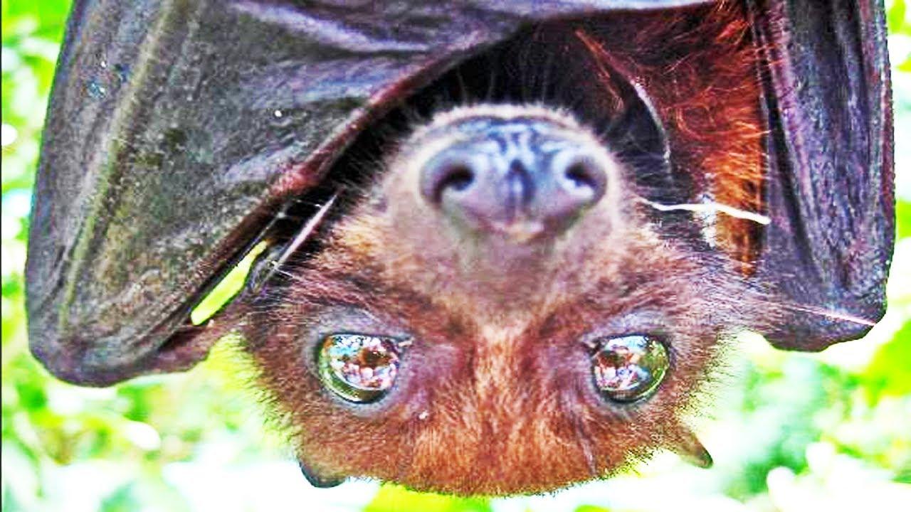Cute fruit bats flying