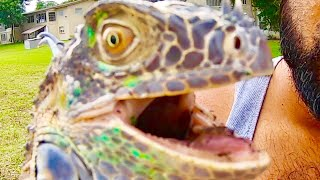 Florida Wildlife and Commission Wants to Kill all Iguanas!