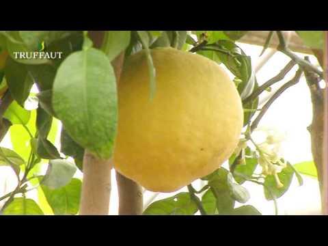 Bien entretenir les agrumes jardinerie truffaut tv youtube - Agrumes en pot ...