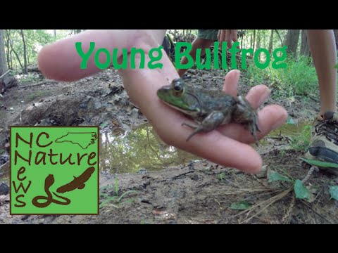 Young Bullfrog | NC Nature News
