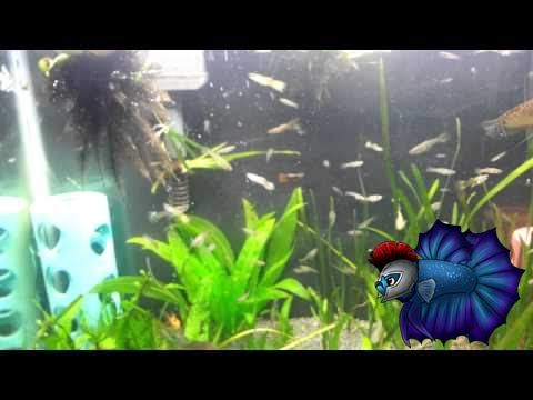 Guppies from the pond in the fish tank update youtube for Fish tank vs pond