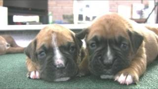 Boxer Puppies Start To Walk (in HD)