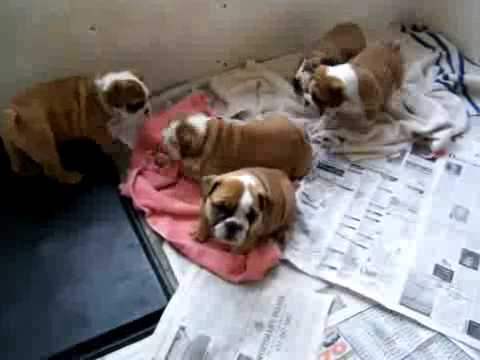 8 Weeks Old English Bulldog Puppies For Adoption Youtube