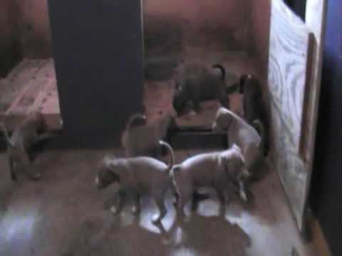 DNA Priority Bullies PRESENTS Summa Breez and Prince Kimbo's 1st Litter @ 5 weeks