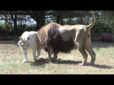 LION TIGER vs Giraffe? Video
