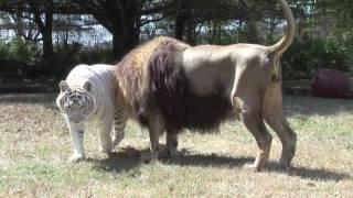 LION TIGER vs Giraffe?