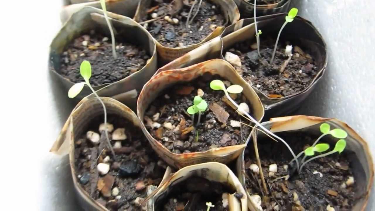 C mo germinar semillas dia 10 primeros tomates perejil for Cultivo de albahaca en interior