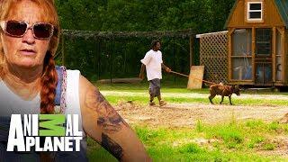 Una segunda oportunidad   Pit bulls y convictos   Animal Planet