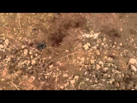 Snake attacks Jack Russel